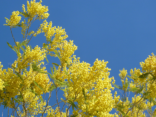 wattle blossoms