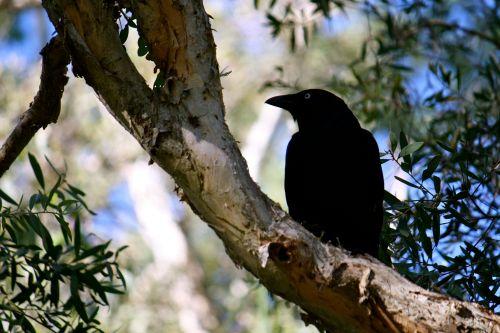 crow poet clk